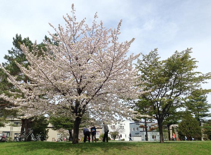 きれいな桜が咲いていました