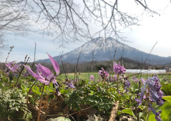 カタクリと羊蹄山