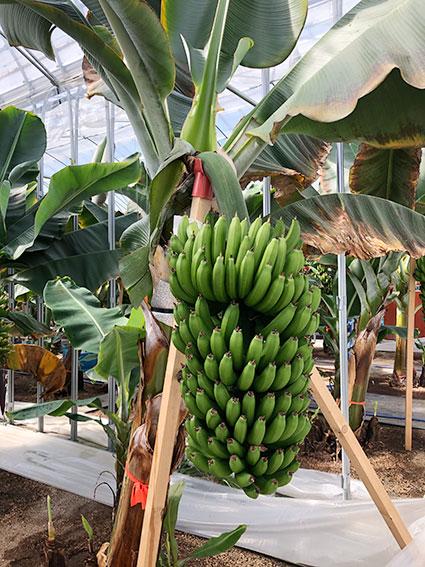 バナナが鈴なり