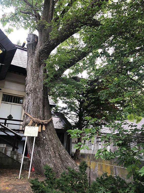 豊平神社のご神木 ハルニレ
