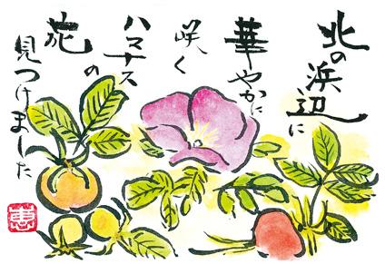 はがき絵:北の浜辺に華やかに 咲くハマナスの花 みつけました
