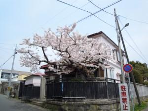函館桜34