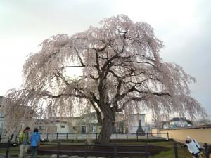 函館桜59